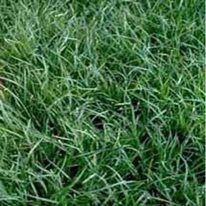 NorthBridge Bermudagrass